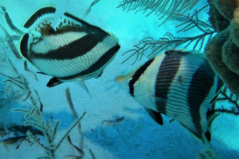GT dd pair fish.jpg