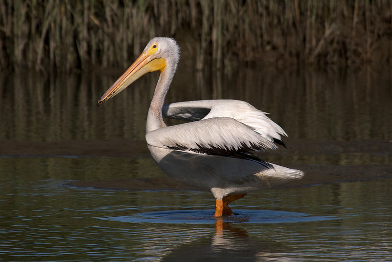 American White Pelican flight series (frame 2)