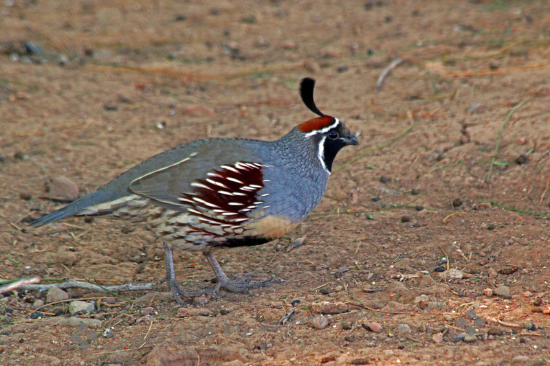 Gambel's Quail ~ This male Gambel's Quail was photographed at the visitor's center at Salton Sea.