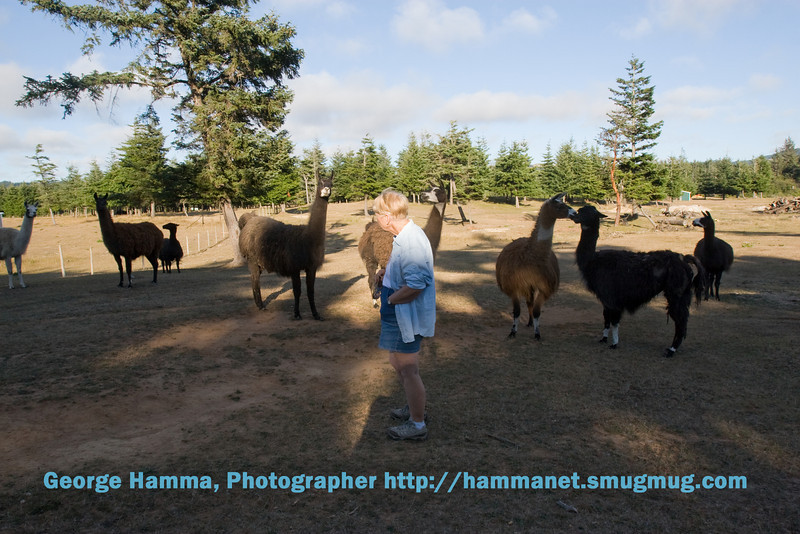 The llamas are friendly, up to a point, then they shy away.