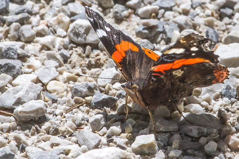 Butterfly on the path to the Lahn Alm