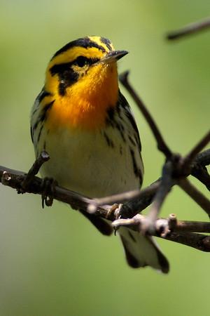 Warbler, Blackburnian