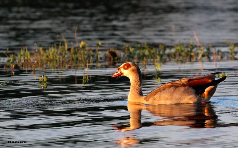 Duck 6-2-15 180.jpg