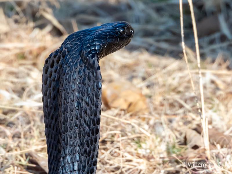 20190803 Black Spitting Cobra (Naja nigricincta woodi) from Undisclosed Location