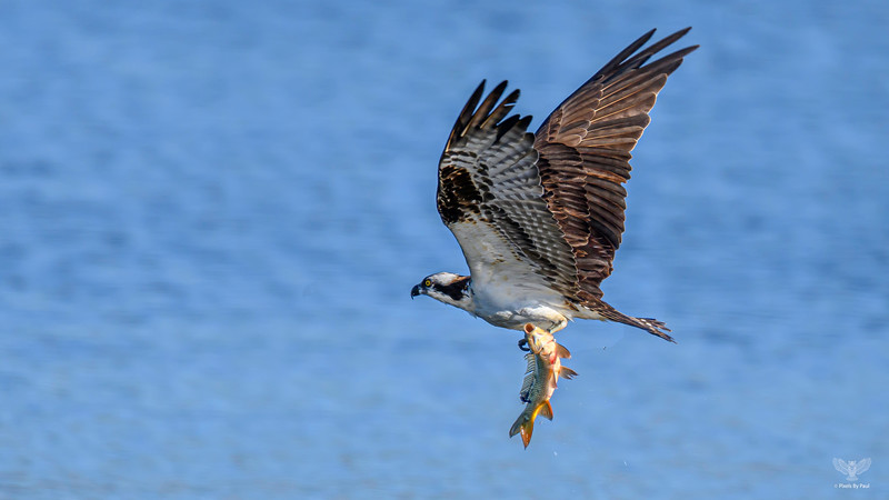 Osprey and Carp 0010 z7 600F4E at 1030 16x9.jpg