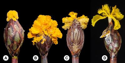 Mimétisme floral