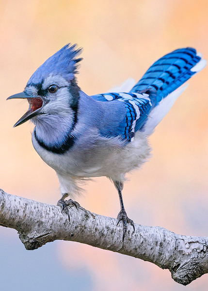s5x7 A Blue Jay With Something To Say.jpg
