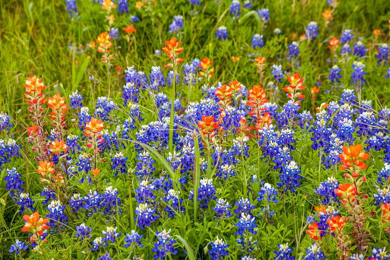 2016_4_9 Texas Wildflower Shoot-8608.jpg