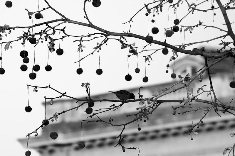 Parisian Bird