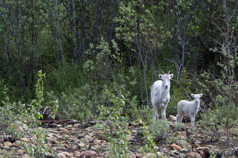Adult and baby pronghorn in Dempster Highway, Yukon, Canada