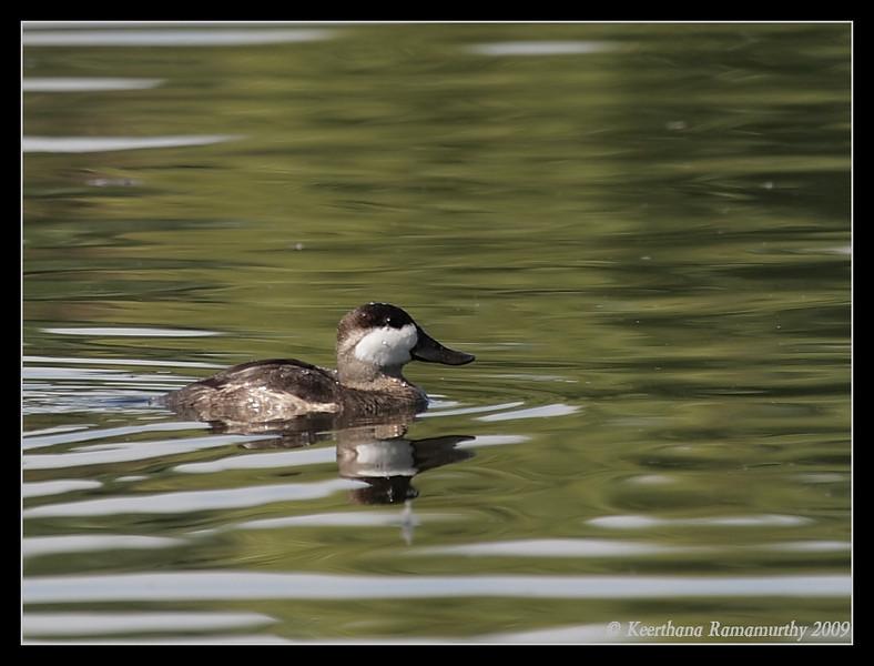 Ruddy Duck Male non-breeding plumage, Santee Lakes, San Diego County, California, October 2009