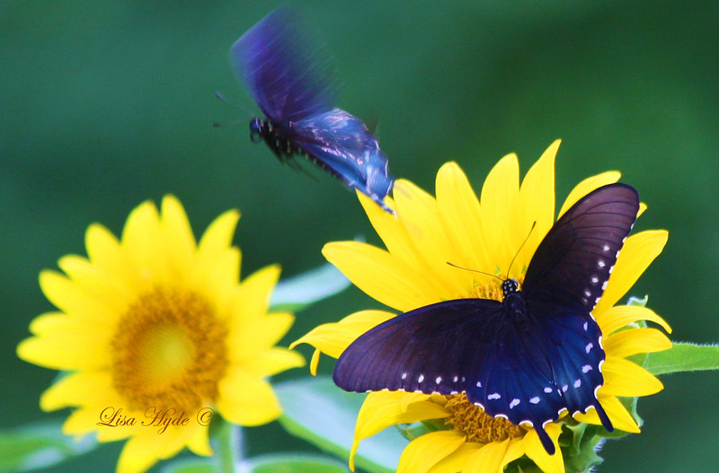 IMG_2326 Sunflower w Black Swallowtails PS signed.jpg