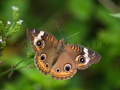 Buckeye, common (Junonia coenia)