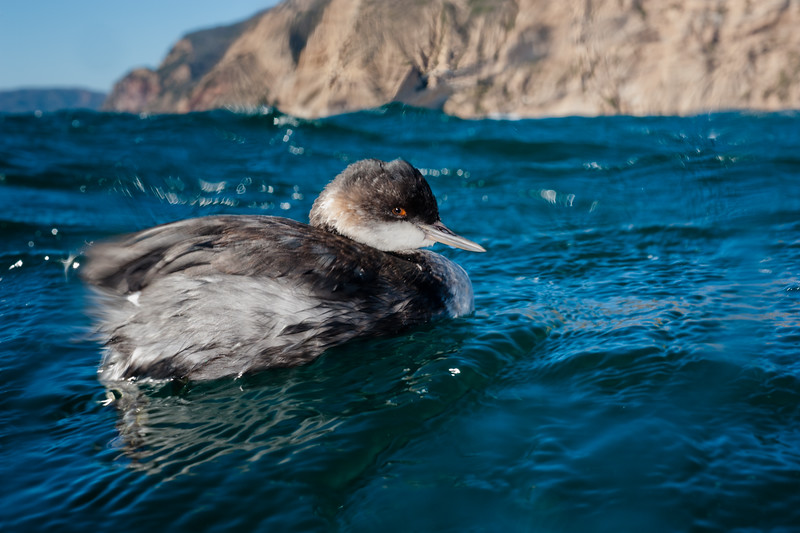 A curious juvenile Western Grebe (Aechmophorus occidentalis) in Channel Islands National Park, CA.
