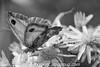 Gate Keeper - Pyronia tithonus (32)