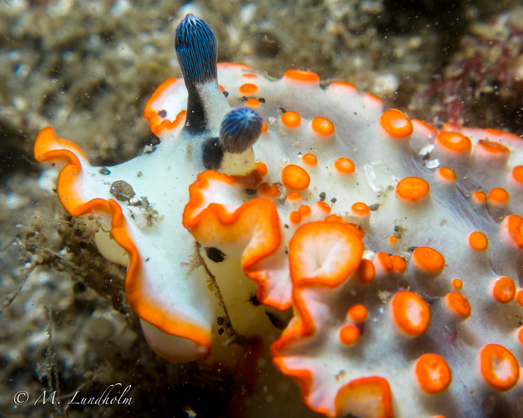 Nudibranch (Dermatobranchus ornatus)