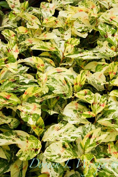 Persicaria virginiana Painter's palette_003.jpg