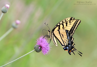 Two-tailed Swallowtail Butterflies
