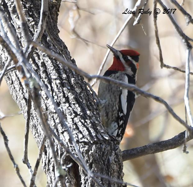 Red-naped Sapsucker - 10/19/2017 - Miller Creek Trail, Prescott, AZ
