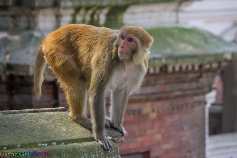 Monkey at a Hindu Temple in Kathmandu