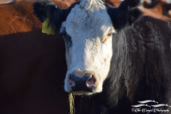 Just Cattle