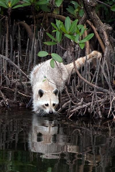 Wild Blonde Raccoon