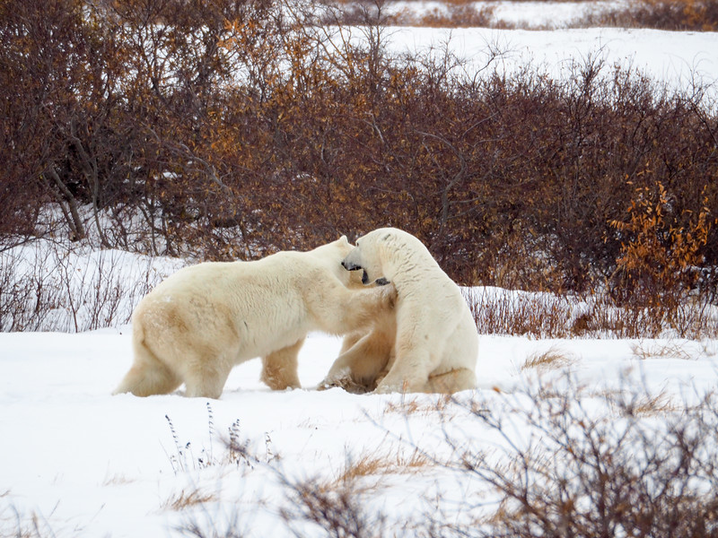 Polar bears play-fighting