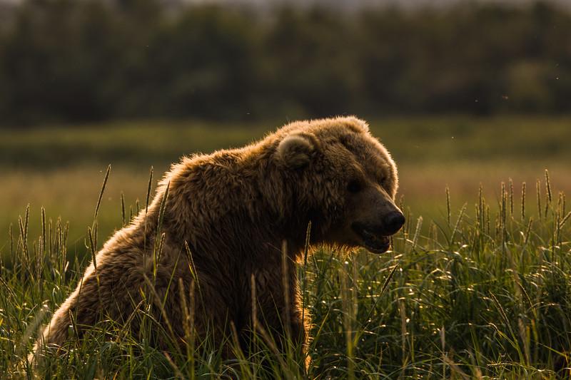 alaska-bears-12.jpg