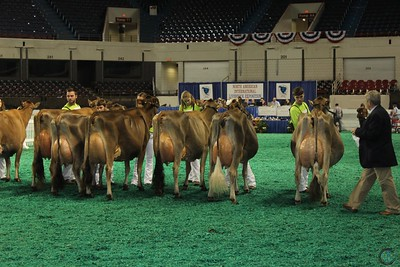 All-American Jr Jersey Sr Cow Show 2016