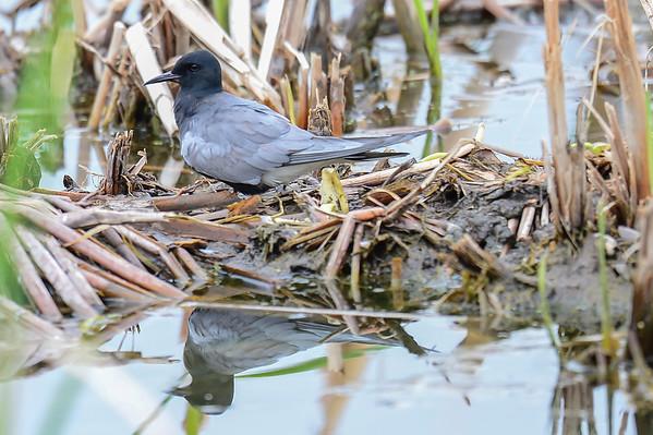 6 2013 Jun 1 Black Tern*