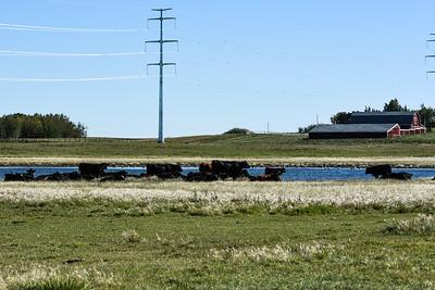 Southern Alberta Stock Cattle