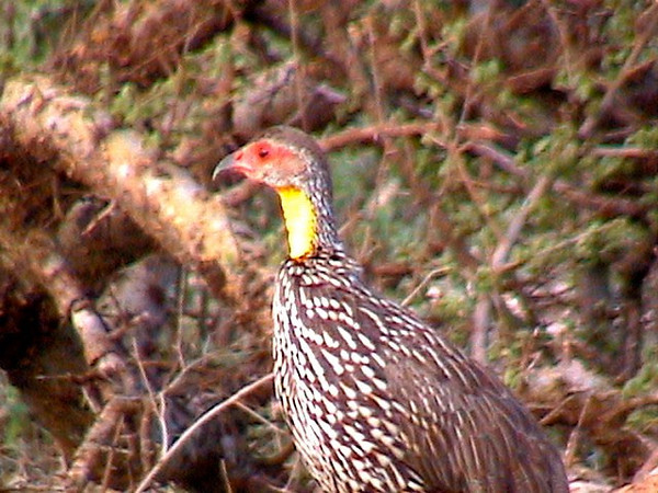 Yellow necked Spurfowl_0127