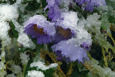 Flowers in the snow - 23 October 2002
