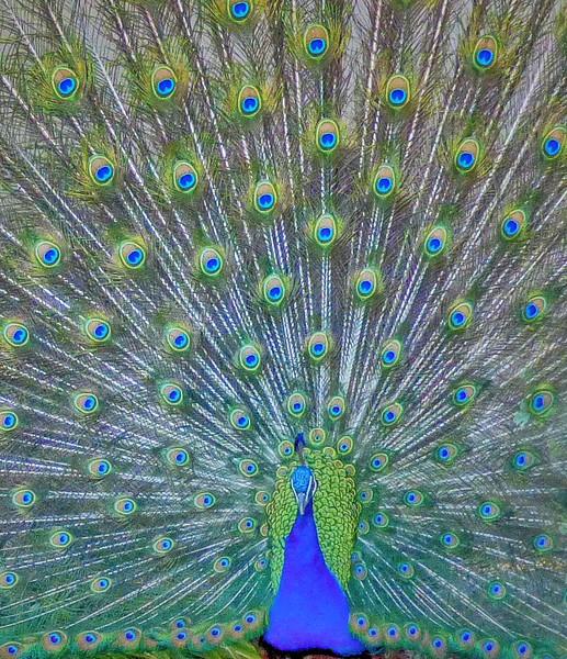 Peacock - Denver Zoo