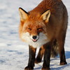 Red fox looking into the camera