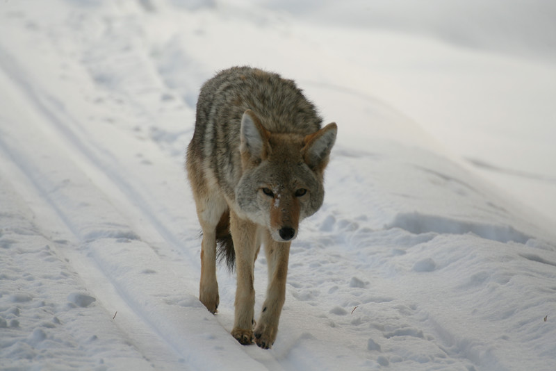 Lazy coyote walks in the ski tracks