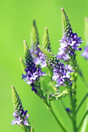 Wild Plants  | Flowers