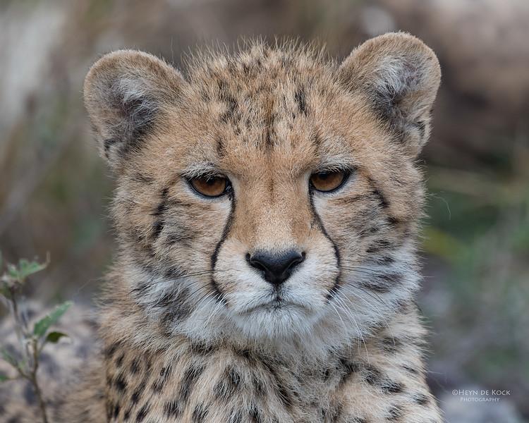 Cheetah, Phinda, KZN, SA, Oct 2016-2.jpg