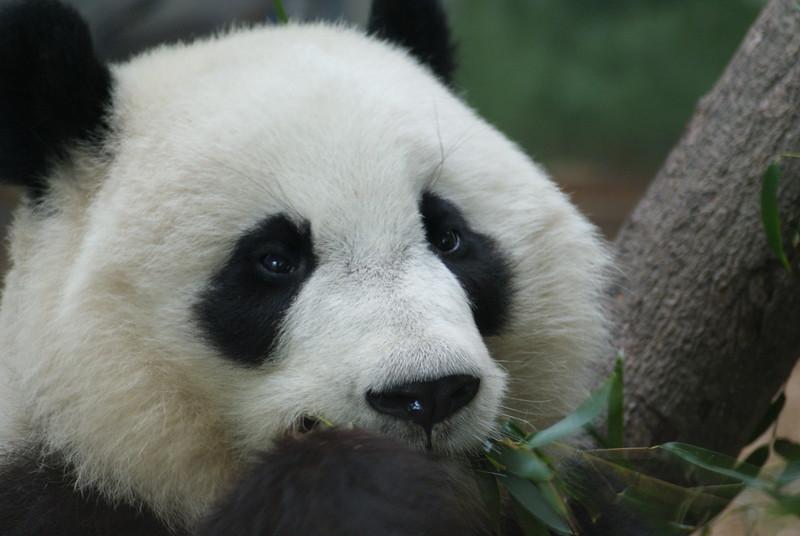 ATL Pandas (9).JPG