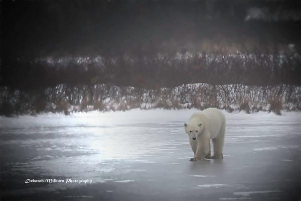 Polar Bears - Churchill, Canada