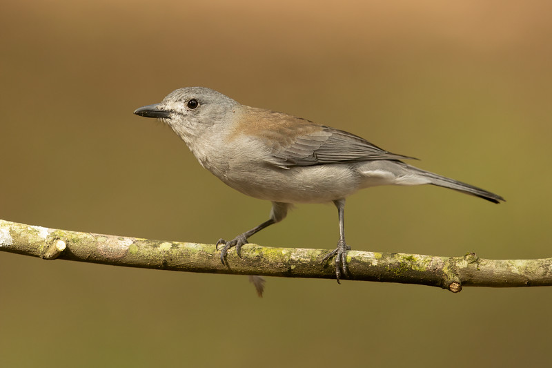 Grey Shrikethrush (harmonica)
