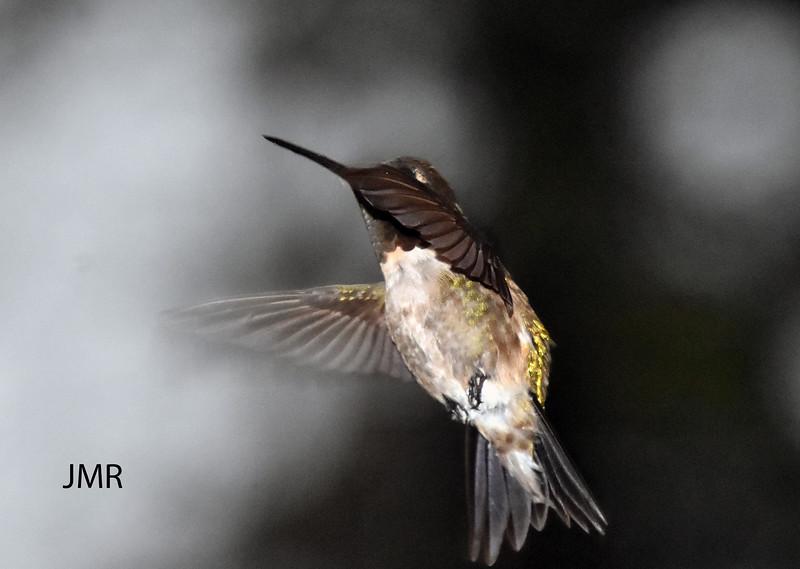 HUMMING BIRD MAY 2020.jpg