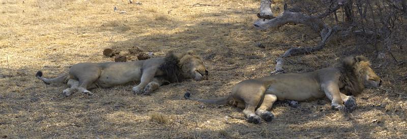 Lions on patrol, Selinda Explorer camp, Botswana