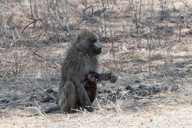 Tarangire National Park baboon with young 0205-.jpg