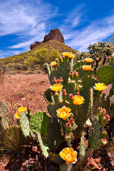 2905 Prickly Pear