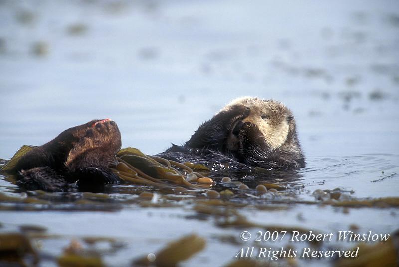Otter - Sea Otter