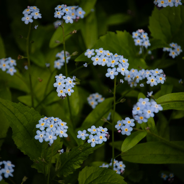 Forget-me-not in the Shadows