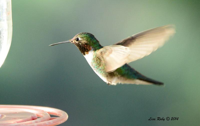 Broad-tailed Hummingbird - 4/21/2014 - Beatty's Guest Ranch, Miracle Valley, Arizona