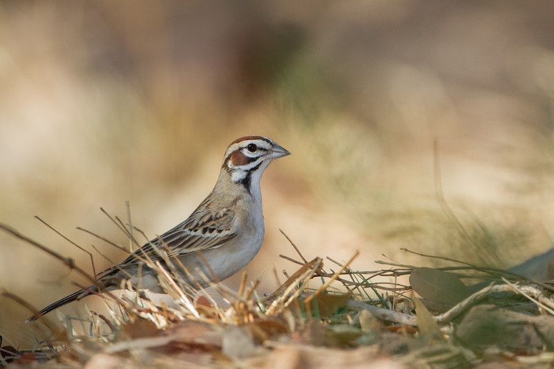 Lark Sparrow - Hereford, AZ, USA