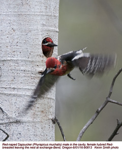 Red-naped Sapsucker M-XRedbreasted F90813.jpg